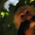 Flirting Tips From The Animal Kingdom - Capuchin Monkeys