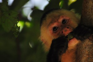 Flirting Tips From The Animal Kingdom - Capuchin Monkeys